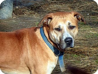 Retriever (Unknown Type)/Boxer Mix Dog for adoption in Wappingers, New York - Jo Jo $100