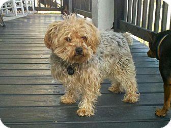 Silky Terrier/Yorkie, Yorkshire Terrier Mix Dog for adoption in Oak Creek, Wisconsin - Benny