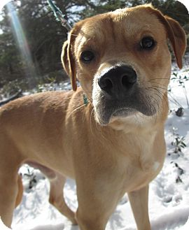 Beagle/Labrador Retriever Mix Dog for adoption in Forked River, New Jersey - Dallas