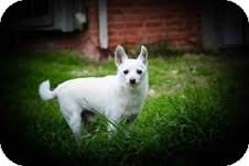 Chihuahua Mix Dog for adoption in justin, Texas - Randy