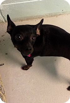Miniature Pinscher Mix Dog for adoption in Muskegon, Michigan - Clover