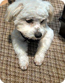 Maltese Mix Dog for adoption in Houston, Texas - Hairy Houdini