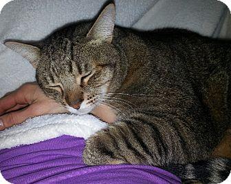 Domestic Shorthair Cat for adoption in Steilacoom, Washington - Stewart