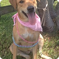 Labrador Retriever Mix Dog for adoption in Davie, Florida - Cecilia
