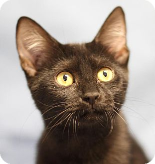 Domestic Shorthair Kitten for adoption in Winston-Salem, North Carolina - Buttons