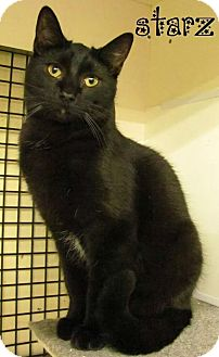 Domestic Shorthair Cat for adoption in Covington, Kentucky - Starz