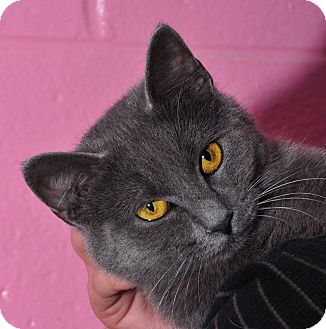 Russian Blue Cat for adoption in Colonial Heights, Virginia - Indigo