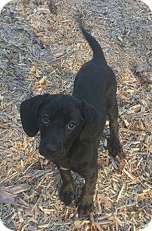 Labrador Retriever/Hound (Unknown Type) Mix Puppy for adoption in Nashville, Tennessee - Wasabi