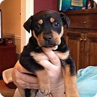 Adopt A Pet :: Snickers - Hamburg, PA