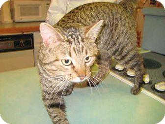 Domestic Shorthair Cat for adoption in Parkville, Missouri - Bingo