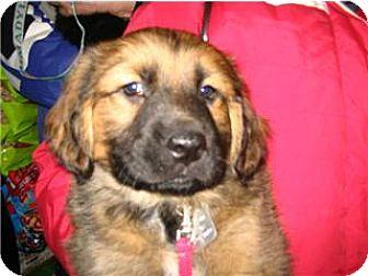 Golden Retriever Puppy for adoption in Kirkland, Quebec - Dave