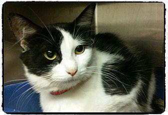 Domestic Shorthair Cat for adoption in Marietta, Georgia - JOONIE