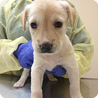 Adopt A Pet :: R2D2 (Star Wars Pup) - Cumming, GA