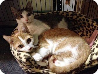 Domestic Shorthair Cat for adoption in Anoka, Minnesota - Ernie and Bert