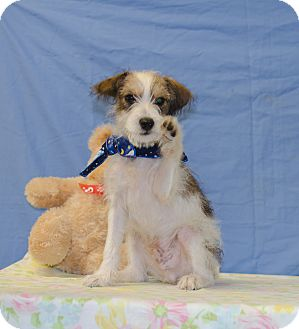Wirehaired Fox Terrier/Jack Russell Terrier Mix Puppy for adoption in Poteau, Oklahoma - ARLO