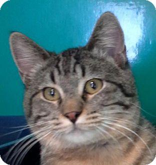 Domestic Shorthair Kitten for adoption in Maquoketa, Iowa - Gumbo