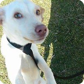 Shepherd (Unknown Type)/Labrador Retriever Mix Puppy for adoption in Earlville, New York - Macey