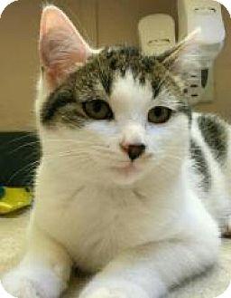 Domestic Shorthair Kitten for adoption in Rochester, Michigan - FIFI