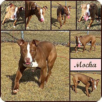 Pit Bull Terrier Mix Dog for adoption in Joliet, Illinois - Mocha