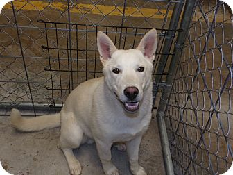 German Shepherd Dog/Siberian Husky Mix Dog for adoption in Santa Clara, New Mexico - Timber