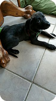 Labrador Retriever/Belgian Malinois Mix Puppy for adoption in Baltimore, Maryland - Penelope