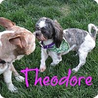 Adopt A Pet :: Theodore - Scottsdale, AZ
