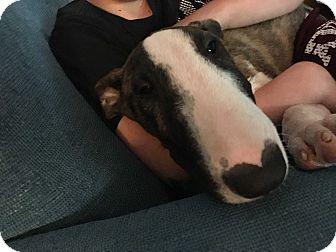 Bull Terrier Puppy for adoption in Houston, Texas - Reggie