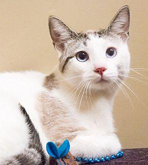 Siamese Cat for adoption in Chicago, Illinois - Herman