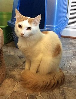 Domestic Longhair Cat for adoption in Breinigsville, Pennsylvania - Butterscotch