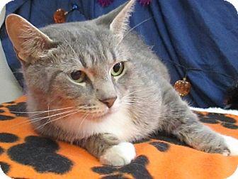 Domestic Shorthair Cat for adoption in Lloydminster, Alberta - Mama Mia