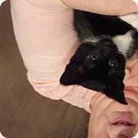 Adopt A Pet :: Stan - Vacaville, CA
