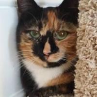 Adopt A Pet :: Calie - Allentown, PA