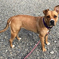 Adopt A Pet :: LOUISE - energetic super smart love bug - Seattle, WA