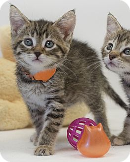 Domestic Shorthair Kitten for adoption in Washburn, Wisconsin - Hazel