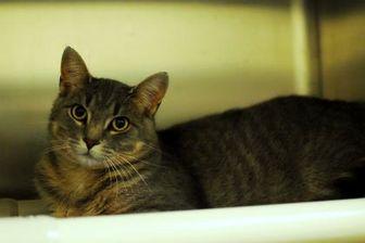 Domestic Shorthair/Domestic Shorthair Mix Cat for adoption in Everett, Ontario - Mischief