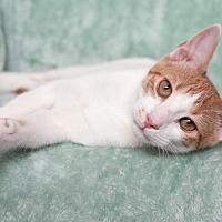 Adopt A Pet :: Sarge - St Louis, MO