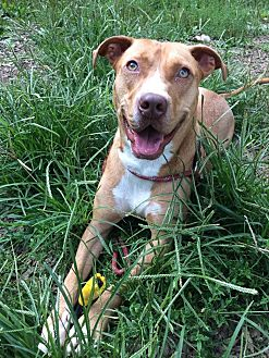 American Pit Bull Terrier Mix Dog for adoption in Broadway, New Jersey - Charlie