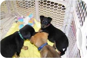 Blue Heeler Mix Puppy for adoption in Kellogg, Idaho - Puppy 2 & 3