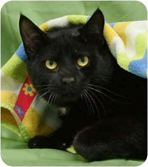 Domestic Shorthair Cat for adoption in Port Hope, Ontario - Shady