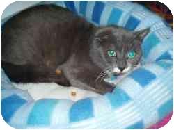 Domestic Shorthair Cat for adoption in Hamburg, New York - Eclipse