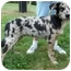 Photo 2 - Australian Shepherd Mix Puppy for adoption in North Judson, Indiana - Fox