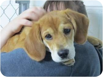 Beagle/Spaniel (Unknown Type) Mix Puppy for adoption in Northville, Michigan - Marney - Pending