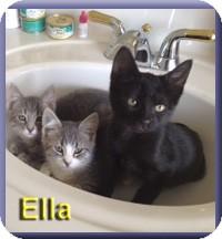 Domestic Shorthair Kitten for adoption in Aldie, Virginia - Ella