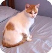 Domestic Shorthair Cat for adoption in Acushnet, Massachusetts - Marda