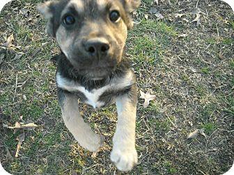 Labrador Retriever/Shepherd (Unknown Type) Mix Puppy for adoption in Naugatuck, Connecticut - Bette (Bet)