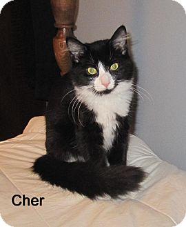 Domestic Mediumhair Cat for adoption in Catasauqua, Pennsylvania - Cher
