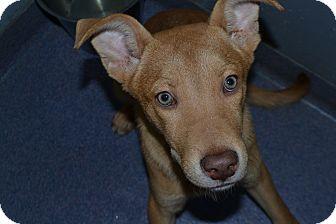 Shepherd (Unknown Type) Mix Puppy for adoption in Edwardsville, Illinois - Blaze