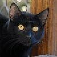 Domestic Shorthair Cat for adoption in Lago Vista, Texas - Shea