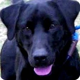Labrador Retriever Dog for adoption in Winchester, Kentucky - BOOKER(GORGEOUS PB LAB!! WOW!!