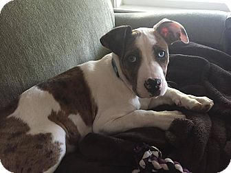 American Pit Bull Terrier/Catahoula Leopard Dog Mix Puppy for adoption in Lincoln, California - Cooper